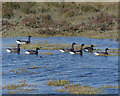 TG0146 : Brent Geese at The Hood by Hugh Venables