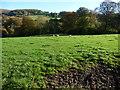 SO2419 : Sheep grazing near Coed Ynysfaen by Christine Johnstone