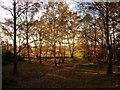 SK6398 : Sunlight in a plantation by Jonathan Thacker