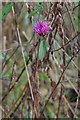 TQ5099 : The Last of the Knapweed by Glyn Baker