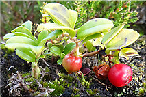 NJ2033 : Bearberry or Cowberry by Anne Burgess