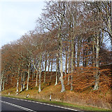 NJ1835 : Beeches at Ballindalloch by Anne Burgess