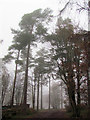 SP8808 : A Misty view of tall pine trees in Wendover Woods by Chris Reynolds