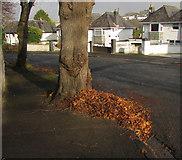 SX9065 : Pile of leaves, Parkhurst Road, Torre by Derek Harper