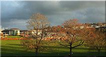 SX9065 : Trees by Torquay Academy by Derek Harper