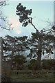 SX8569 : Truncated pines, Crystalwood by Derek Harper