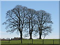 NS9851 : Sycamores at Ampherlaw by M J Richardson
