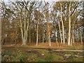 TL8197 : Oak copse by David Pashley