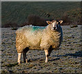 NY6006 : A sheep outstanding in its own field - December 2018 : Week 49