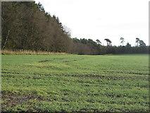 NS9947 : Winter wheat near Stanemuir Toll by M J Richardson