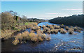 NY9864 : Bushes growing from River Tyne by Trevor Littlewood