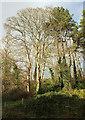 SX9166 : Trees, Hele by Derek Harper