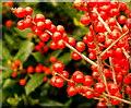 SO7119 : Ilex verticillata, 'Winterberry' by Jonathan Billinger