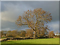 SE2242 : Solitary tree near Home Farm by Stephen Craven