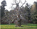 NH4859 : Dead tree at Castle Leod by Richard Dorrell