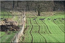 SP0041 : Fallow deer jumping a fence by Philip Halling