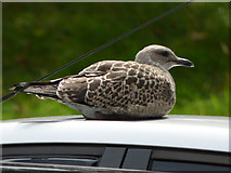 NS3421 : Young gull on a car roof by Thomas Nugent