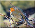 SE2854 : Robin in Harlow Carr by DS Pugh