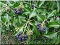 SO7843 : Ivy berries by Philip Halling