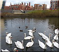 SK5803 : Swans on the Grand Union Canal by Mat Fascione
