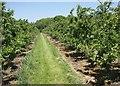 TQ7650 : Apple orchard, Loddington Farm by Simon Mortimer