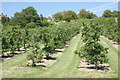 TQ7649 : Apple orchard and oast house, Loddington Farm by Simon Mortimer