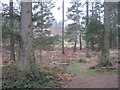 NY5726 : Spruce woodland at Whinfell by M J Richardson
