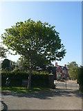 SN4562 : Commemorative Oak Tree by Eirian Evans