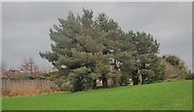 J3731 : A row of conifers along the banks of the Burren River, Newcastle by Eric Jones