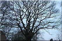 TL6400 : Tree by Fryerning Pond by David Howard