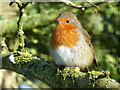 SK2679 : Robin on a branch by Graham Hogg