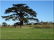 SO8844 : Cedar of Lebanon tree by Philip Halling