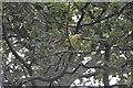 TQ2680 : Parakeet, Hyde Park by N Chadwick