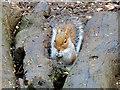 SH9974 : Squirrel at Bodelwyddan Park by David Dixon