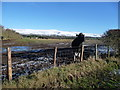 NY5832 : Cattle on Langwathby Moor by Christine Johnstone