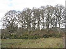 NN9952 : Trees near Tulliemet by M J Richardson
