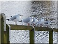 NY9364 : Black-headed Gulls beside the Tyne by Oliver Dixon