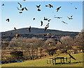 NX6865 : Red kites at Bellymack Hill Farm Red Kite Feeding Station by Walter Baxter