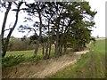 NY9076 : Row of Scots Pines near Gunnerton Fell Farm by Oliver Dixon