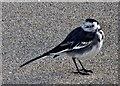 H4572 : Pied wagtail, Omagh by Kenneth  Allen