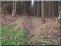 TL8097 : Forest track in Thetford Forest by David Pashley