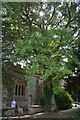 ST4224 : Ginkgo tree at  Church of St Peter & St Paul, Muchelney by Colin Cheesman