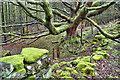 NZ5102 : Mossy Oak by Mick Garratt