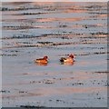 NH6448 : Pair of Wigeon on the tideline at North Kessock by valenta