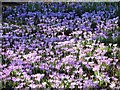 TG2108 : A carpet of woodland crocuses (Crocus tommasinianus) in Section Y by Evelyn Simak