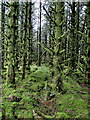 S7839 : Moss Clad Trees by kevin higgins