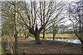TQ8145 : Pond & Pollard by Dray Corner Road by Glyn Baker