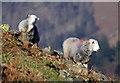 NY3211 : Herdwick sheep at Dunmail Raise by Walter Baxter