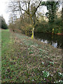 TL8193 : Snowdrops on bank of Lynford Lakes by David Pashley
