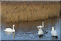 NJ2366 : Mute and Trumpeter Swans by Anne Burgess